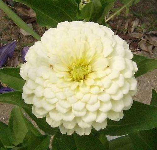 Graines de fleurs Bonsai Zinnia elegans Lilliput Mix graines Garden Seeds 30pcs famille décoration de jardin Zinnia semences livraison gratuite A07
