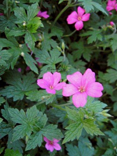 Staudenkulturen Wauschkuhn Geranium oxonianum (endressii) 'Rosenlicht' - Storchschnabel - Staude im 9cm Topf