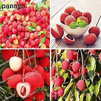 ASTONISH Erstaunen SEEDS: 5 Stück Obst Bonsai Samen Litschi Baum Lychee Lychy Litschi Samen Leechee Fruchtsamen im Freien Sukkulenten Pflanze Hausgarten