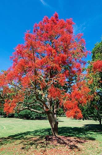 ScoutSeed Flaschenbaum 5 Samen (Brachychiton Rupestris) Bonsai/Zimmerpflanze / Garten