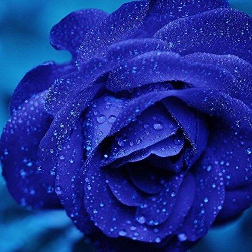 150PCS Rose Flower Seed Hollande Rose Graines amant cadeau arc-RARE 25 exotiques couleurs au choix de bricolage pour les plantes de jardin à domicile 4