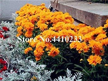 . 100 Stück Exotische Daisy Pflanzen Bellis perennis Chrysanthemum Seltene Blumen für Hausgärten Outdoor-Anlage Blumen 20 Farben: 7