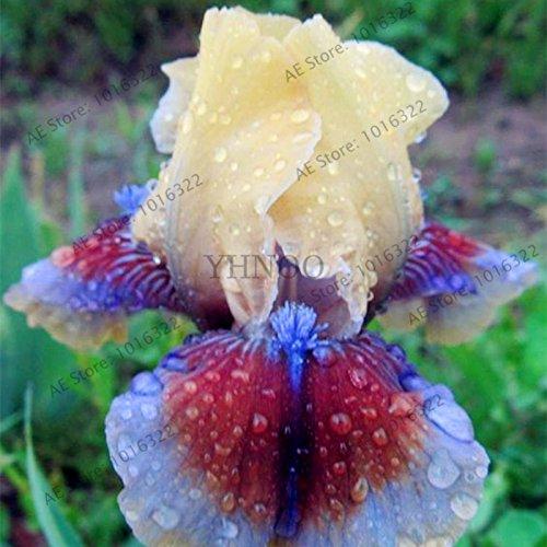 50pcs/sac graines Iris, fleur populaire de jardin de plantes vivaces, fleurs coupées magnifique rares graines de fleurs pour la plantation jardin maison orchidées 1