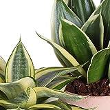 Zoom IMG-1 sansevieria tris in vaso terracotta