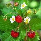 Semillas de Fresa Salvaje Fragaria Vesca 150 Semillas de Frutilla Silvestre o Fresa del Bosque