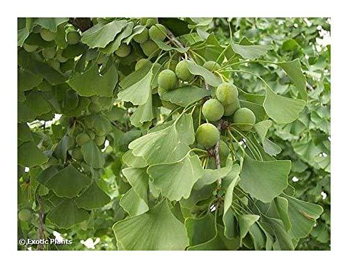 Ginkgo biloba - arbre aux 40 écus, arbre aux mille écus - 5 graines