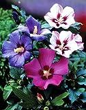 Hibiskus-Sträucher- Sortiment. je 1 Stauch blau. rot und weiß blühend - zu dem Artikel bekommen Sie gratis ein Paar Handschuhe für die Gartenarbeit dazu