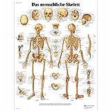 3B Scientific VR0113UU - Póster explicativo sobre el esqueleto (en...