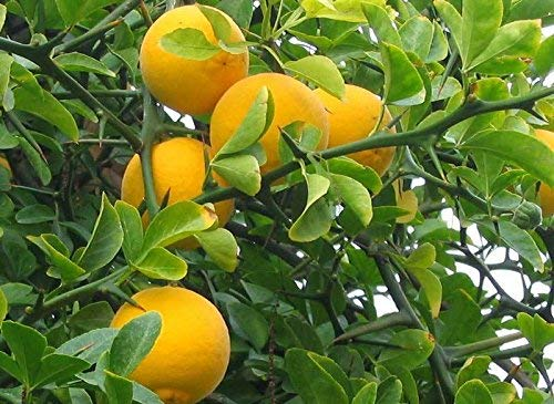 Hardy Orange amère, Poncirus trifoliata, 15 graines (Showy, odorant, comestibles)