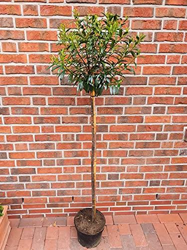 Kirschlorbeer- Stämmchen, Prunus laurocerasus Sofia (Höhe: 170-180 cm), immergrün + Dünger