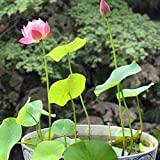 Liveseeds - Nelumbo nucifera Lotus rosa, Pianta acquatica, 5 semi freschi Coltivare Difficoltà Grado: Molto Facile Uso: Indoor / Outdoor Tipo: Piante acquatiche Funzione: purificazione dell'aria