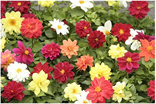 Lot de 50 graines Dahlia des jardins simples nains Piccolo - annuelles