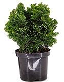 Chamaecyparis obt. nana gracilis - kleine Muschelzypresse, Zwergkonifere winterhart immergrün-Topf: 19 cm - Höhe: 25 cm