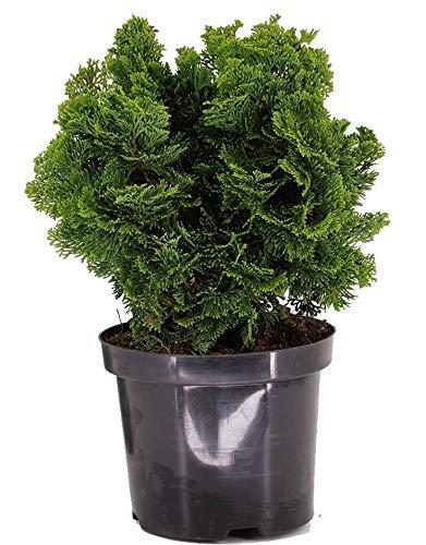 Chamaecyparis obt. nana gracilis - kleine Muschelzypresse, Zwergkonifere winterhart immergrün-Topf: 19 cm