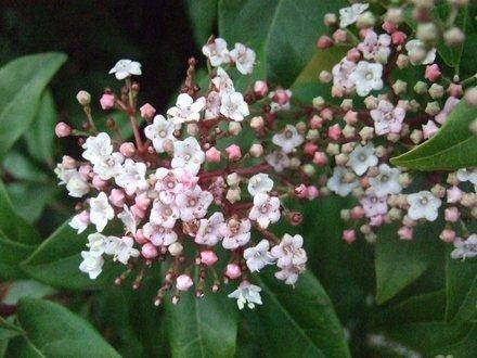 Tree Seeds Online - Viburnum Tinus - 10 Paquete