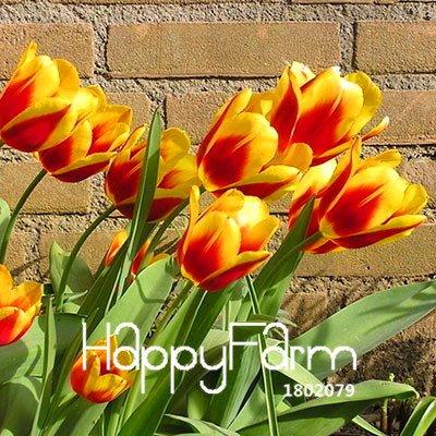100% germination 2 Pcs véritables bulbes de tulipes, bulbes de fleurs de tulipe arc en ciel, (non tulipe graines), plantes fournitures de jardin, fleurs rares 8