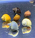 Mystery Snails x3 (Pomacea Bridgesii) Large Mix Pack - Live Freshwater Snails