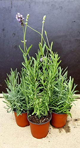 """The Three Company Healthy Aromatic 4"""" Live Lavender 3 Per Pack, Sleep Aid"""