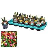 Bulbo de Tulipán Bandeja con 12 Unidades de Tulipanes de Colores Surtidos Plantas Naturales