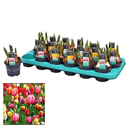 Bulbo de Tulipán Bandeja con 18 Unidades de Tulipanes de Colores Surtidos Plantas Naturales