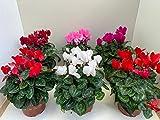Ciclamen - Pack 8 Plantas Distintos colores-Cyclamen Persicum -Ciclamino - Flores de Jardín - Planta Viva - VIPAR GARDEN 25 (PLANTAS)