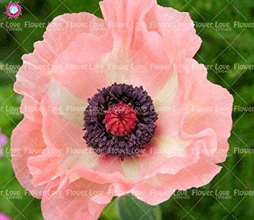 100PCS rares Graines de pavot bleu de l'Himalaya belles graines vivaces fleurs Nouveau style papillon attrayant pour jardin plante 3