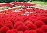 50+ Séẹds Burning Bush Kochia Scoparia/Hardy-Drought Tolerant/Annual Flower Séẹds