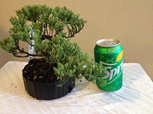 Procumbens Nana Pre Bonsai Tree 3 Years Old