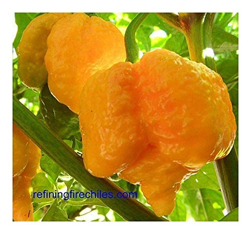 SANHOC Samen-Paket: Chili Trinidad Yellow 7 Pod - Paprika - 5 seedsSEED