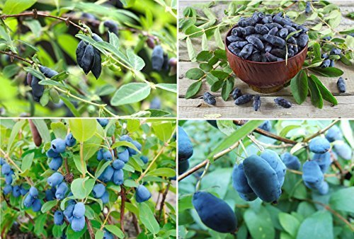 15x heckenkirsche jardin Comestible Fruits bleu Plant Comestible jardin graines frais semences Délicieux #346