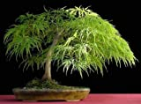 Lace Leaf Japanese Maple, Acer palmatum dissectum, Tree 10 Seed (Fall Color, Bonsai