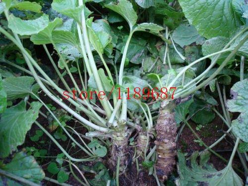 100 pcs/sac Graines de moutarde (Wasabi) Saines Graines de légumes verts Plante pour la maison et le jardin
