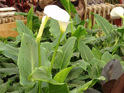 Calla, Zantedeschia aethiopica- 10 Samen