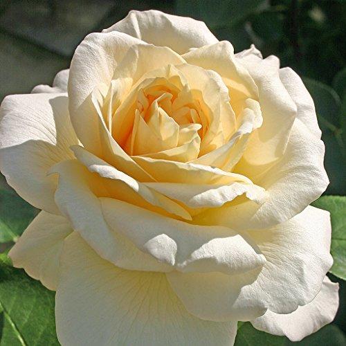 Kordes Rosen La Perla Edelrose, creme, 12 x 12 x 40 cm