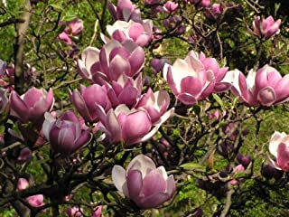 Saucer Magnolia 'Magnolia Soulangeana' – 2 ft Tall Tree/Shrub - One Gallon Healthy Potted Plant – 1 Plant by Growers Solution