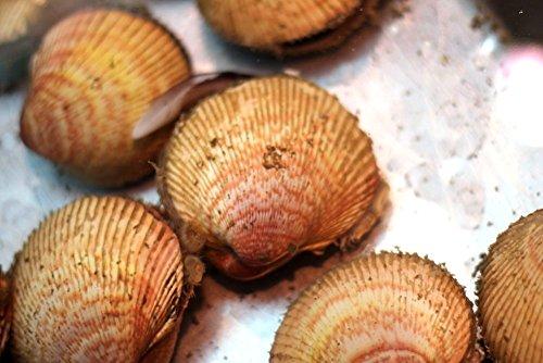 生トリ貝 殻付きトリ貝 三重・愛知産 他 1個70-100g・計500g 築地直送 高級貝類 国産 カラトリ 鳥貝 職人の食材【カラトリ70-100gx500g】