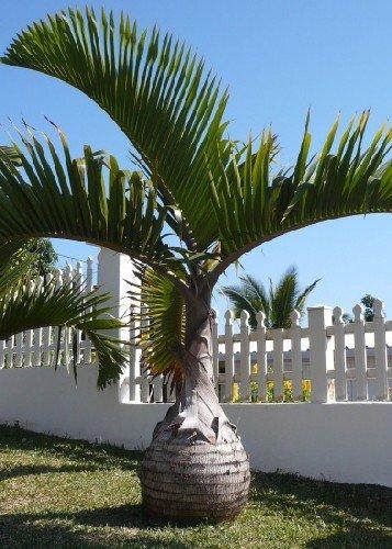 TROPICA - Palma bottiglia (Hyophorbe lagenicaulis) - 3 Semi- Palma