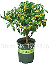 osmanthus tree for sale