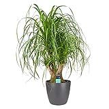 Planta de interior – Pata de Elefante en maceta antracita como un conjunto – Altura: 100 cm