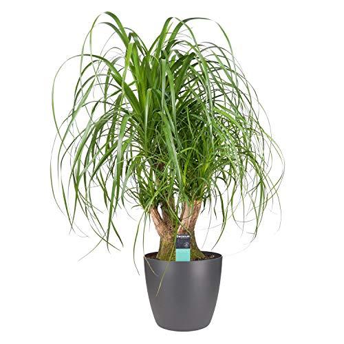 Zimmerpflanze – Elefantenfuß in anthrazitfarbenem Übertopf als Set – Höhe: 100 cm