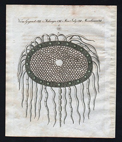 - Cinchona quina Ipomoea purga Jalap botany engraving antique print Bertuch