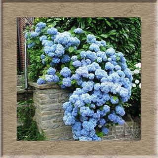 semillas de flores de hortensias, hortensias bonsai en maceta balcón 24 colores para elegir, toda la gama de 20 semillas /...