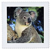 3dRose qs_85322_2コアラベア、オーストラリア、ユーカリの木-S01 Ksc0000-ケビンシェファー - キルトスクエア、6 x 6インチ