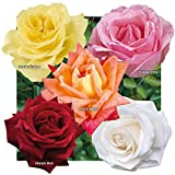 YouGarden Hybrid Tea Rose collection x 5 bare root...