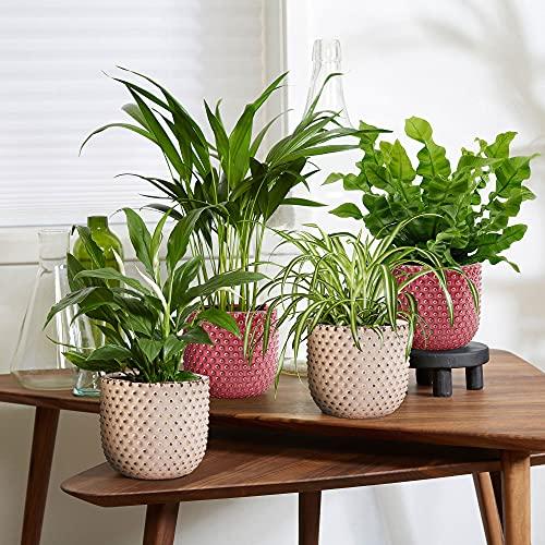 4er Set Luftreinigende Zimmerpflanzen   Vier Grünpflanzen mit Topf   Areca Palme, Grünlilie, Farn, Einblatt   Höhe 25-30cm   Rosa TS Ziertöpfe Ø14cm