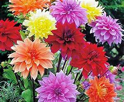 Dahlia, Root, DINNERPLATE Mix, Pack of 5 (Five), Easy to Grow, Dahlias, Dahlia Bulb
