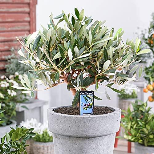 Olea Europaea   Olivenbaum winterhart   Mediterrane Pflanzen   Garten- und Balkonpflanzen...