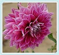 ダリア球根 - 赤いダリアの球根、春の開花植物は珍しい鉢植えの植物を飾ります,6球根