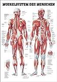 anat. Lehrtafel: Männliches Muskelsystem 70x100 cm