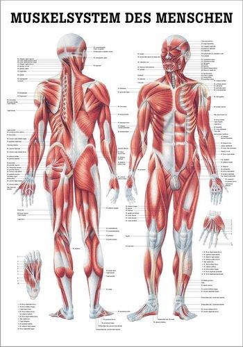 Ruediger Anatomie TA04 Muskelsystem des Menschen Tafel, 70 cm x 100 cm, Papier